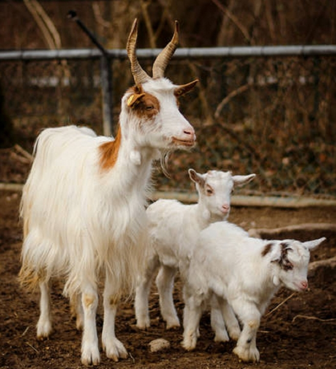 Munich Zoo Goats to Become Landscaping Artists in Leipzig